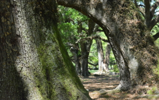 a stand of large live oak trees