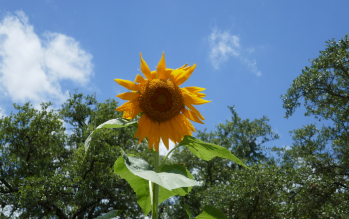 a single large sunflower against a blue sky representing minimalism