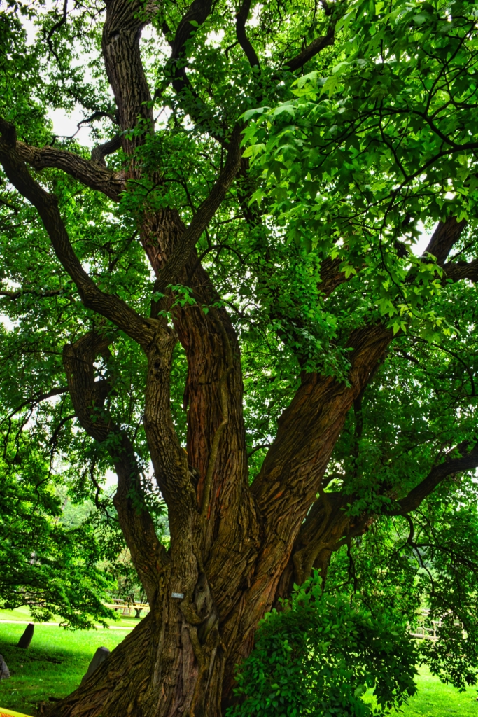 multi-trunk oak tree with bright green leaves with light reaching through the branches